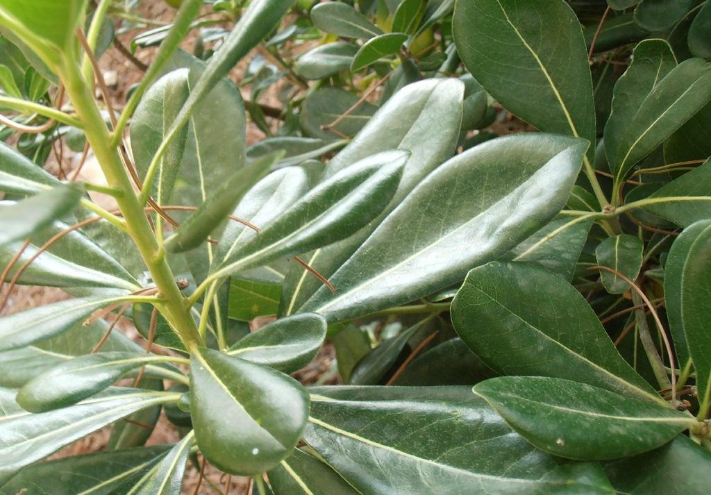 Pittosporum tobira feuilles
