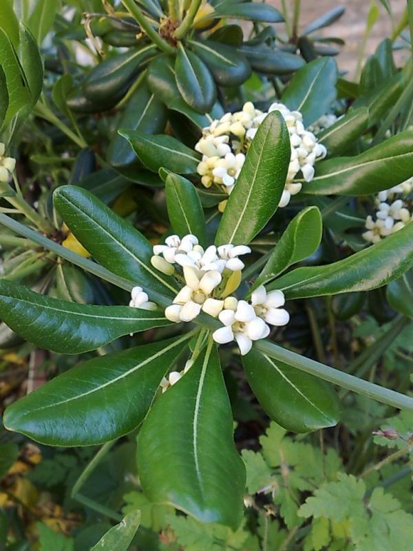 fleur du Pittosporum