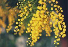taille du mimosa