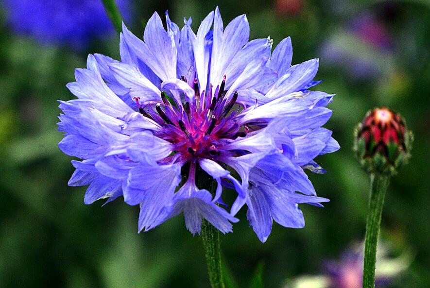 La centaurée fleurs violette