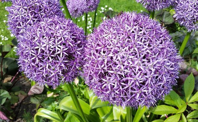 L'allium fleurs violettes