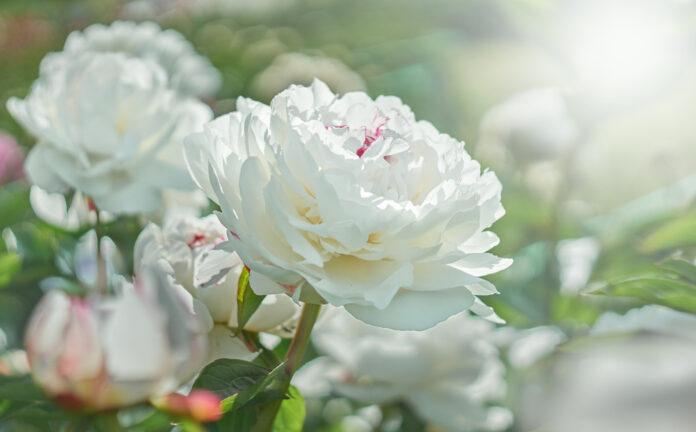Les 12 plus belles fleurs blanches à planter dans nos jardins