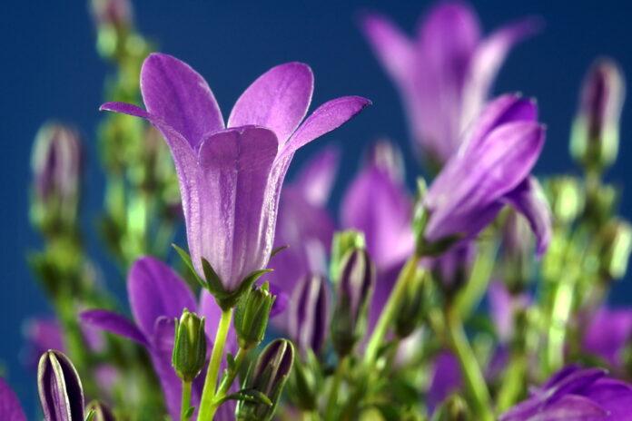 Les 12 plus belles fleurs violettes à planter dans nos jardins