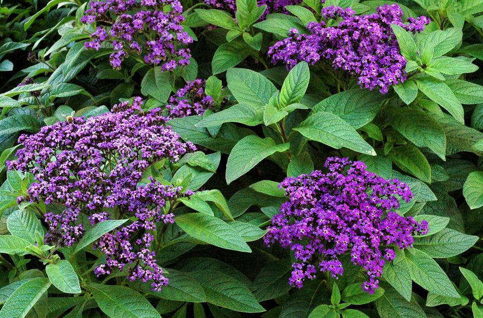 L'héliotrope fleurs violettes
