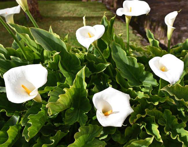 arum fleurs blanches