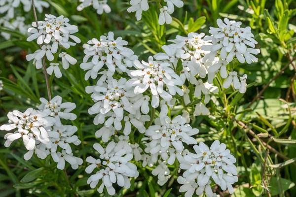 corbeille d argent plantes blanches