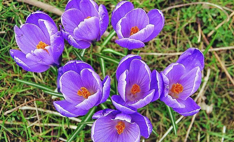 crocus fleurs violettes