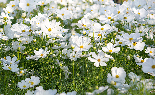 fleurs blanches cosmo