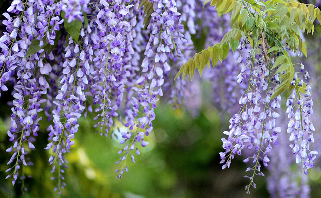 glycine fleurs violettes