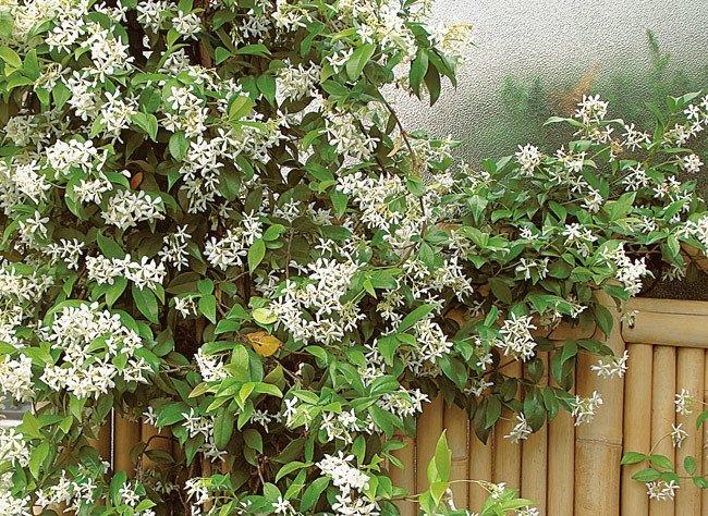 jasmin étoilé fleurs blanches