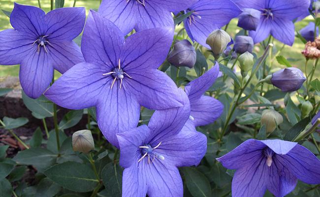 la campanule fleur violette