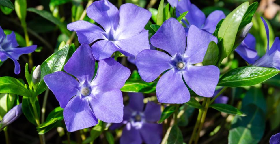 la pervenche fleur violette
