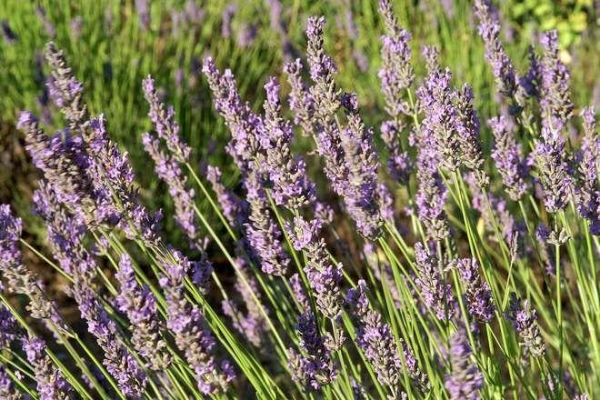 lavande fleurs violettes