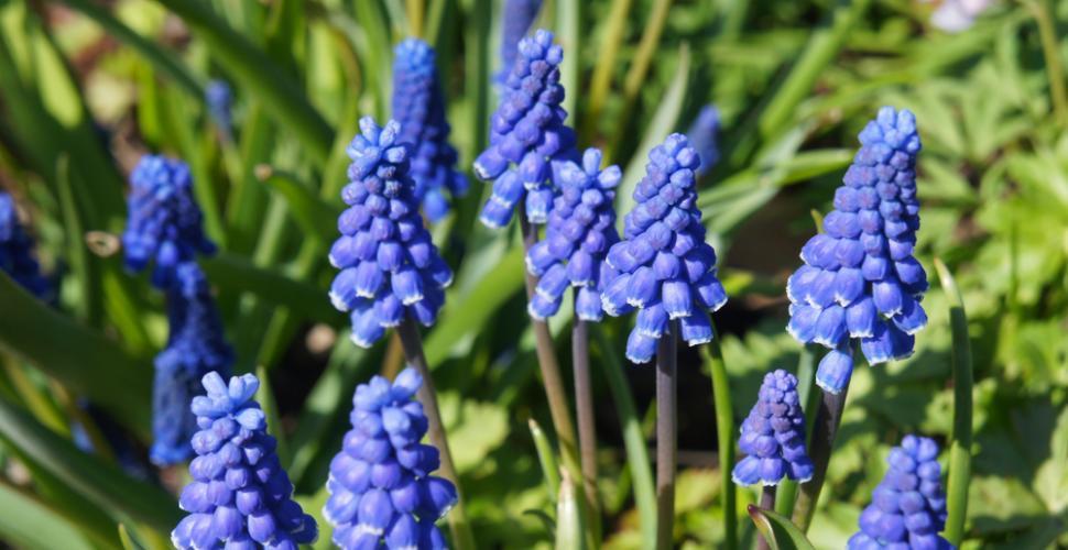 le muscari fleur violette