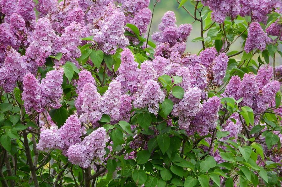 lilas fleurs violettes
