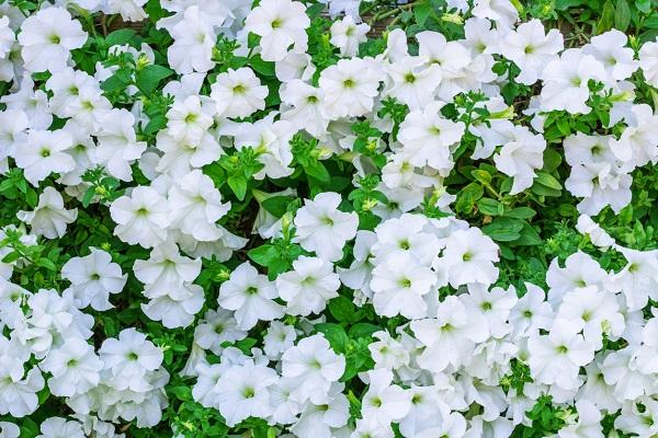 pétunia-fleurs-blanches