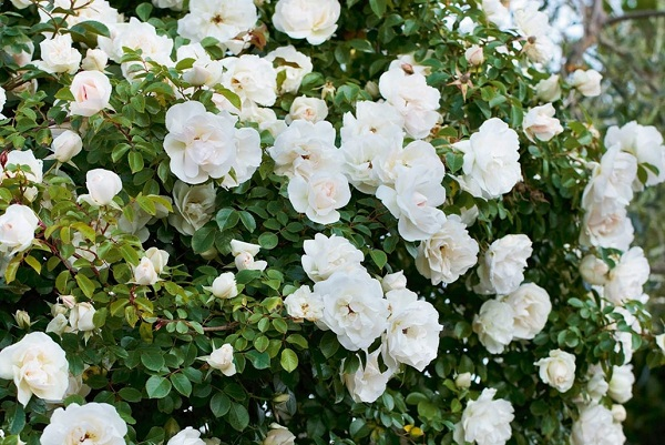 roses blanches fleurs