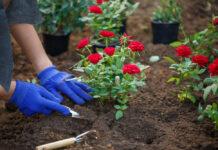 Les 12 plus belles fleurs rouges à planter dans nos jardins
