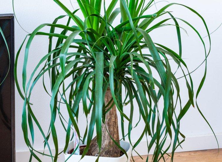plante d'intérieur Le beaucarnea