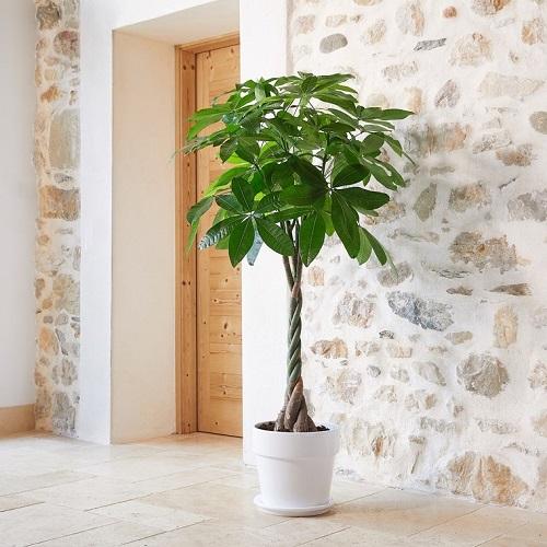 plante d'intérieur pachira